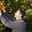 Orange tree field farmer harvest picking fruits - Stock Photo