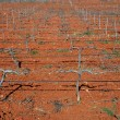 Rows of grapevines in vineyard — Stockfoto