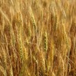 Golden wheat cereal yellow field — Stock Photo #5500375