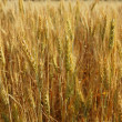 Golden wheat cereal yellow field — Stock Photo #5500377
