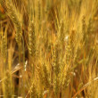 Golden wheat cereal yellow field — Stock Photo