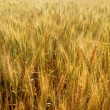 Golden wheat cereal yellow field — Stock Photo #5500381
