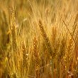 Golden wheat cereal yellow field — Stock Photo #5500383