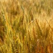 Golden wheat cereal yellow field — Stock Photo #5500385