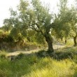 Olive tree field in Spain - Stock Photo