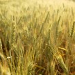 Golden wheat cereal yellow field — Stock Photo #5500393