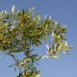 Olive tree field in Spain, macro close up - Stock Photo