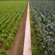 Cabbage fields, rows of vegetable food - Stock Photo