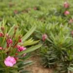 Oleander pink flower ornamental fields — Stock Photo #5500414