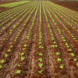 Baby lettuce sprouts on a red claiy soil — ストック写真