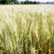 Green wheat field detail - Stock Photo