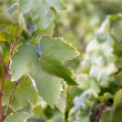 Grape details growing in vineyard field - Stock Photo