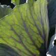 Agriculture in Spain, cabbage leaf macro detail - Stock Photo