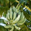 Bananas growing from tree, still in green color — Stock Photo