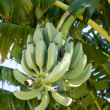Stock Photo: Bananas growing from tree, still in green color