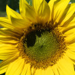 Yellow sunflowers on a sunny day — Stock Photo