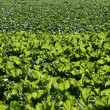 Lettuce fields in green vivid color — Stock Photo