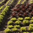 Red little baby lettuce, fields from spain — Stock Photo