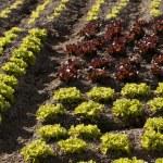Red little baby lettuce, fields from spain — Stock Photo