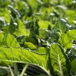 Green chard cultivation in a hothouse field — Stock Photo