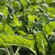 Stock Photo: Green chard cultivation in hothouse field