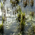 Growing rice fields in Spain. Water reflexion — Stock Photo