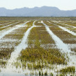 Growing rice fields in Spain. Water reflexion — Stock Photo