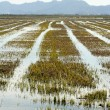 Stock Photo: Growing rice fields in Spain. Water reflexion
