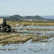 Rice tractor, wet fields and seagulls — Stock Photo #5501862