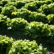 Lettuce field in Spain. Green plants perspective — Stok fotoğraf