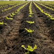Lettuce sprouts field, green vegetable outbreaks — Stock Photo