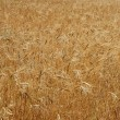 Golden yellow wheat cereal crop field texture - Stock Photo