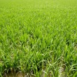 Green rice plants in irrigation spring fields — Stock Photo