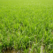 Green rice plants in irrigation spring fields — Stock Photo #5502086