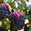 Black red grape for wine production in Spain - Photo