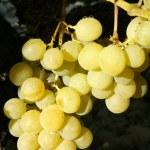 Delicious yellow autumn grape fruit — Stock Photo #5502108