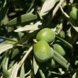Green olive tree with macro closeup fruits — Foto Stock