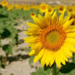 Sunflower plantation vibrant yellow flowers — Stock Photo