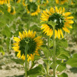 Sunflower plantation vibrant yellow flowers — Photo