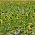 Sunflower plantation vibrant yellow flowers — Stock Photo
