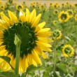 Sunflower plantation vibrant yellow flowers — Stock Photo #5502242