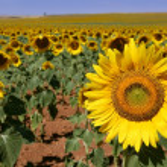 Sunflower plantation vibrant yellow flowers — Stock Photo #5502251