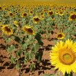 Sunflower plantation vibrant yellow flowers — Foto de Stock