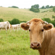 Beige cows cattle  eating in green  meadow — Stockfoto