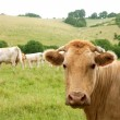 Beige cows cattle  eating in green  meadow — 图库照片
