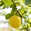 Mirabelle yellow plum fruit in its tree - Stock Photo