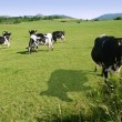 Cows on the meadow fresian cattle — Stock Photo