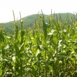 Corn green fields landscape outdoors — Stock Photo