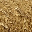 Agriculture wheat golden dried fiels crop — Stock Photo