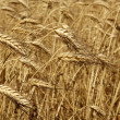 Agriculture wheat golden dried fiels crop — Stockfoto